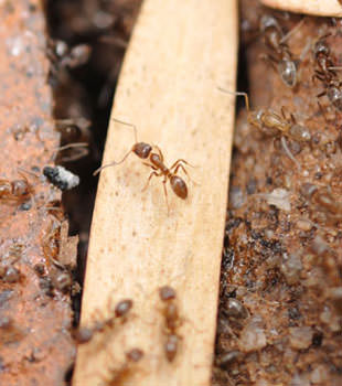 Ant Control in West Virginia, Kentucky, Ohio