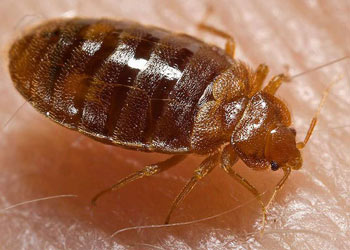 Bed Bugs inside a Lucasville house