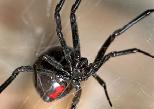 Black Widow Spiders in Ironton